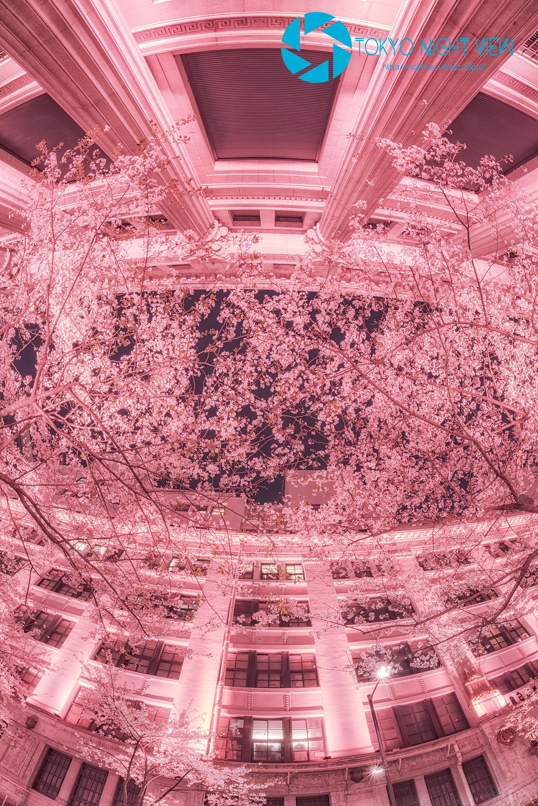 視界一杯に広がる桜色が綺麗