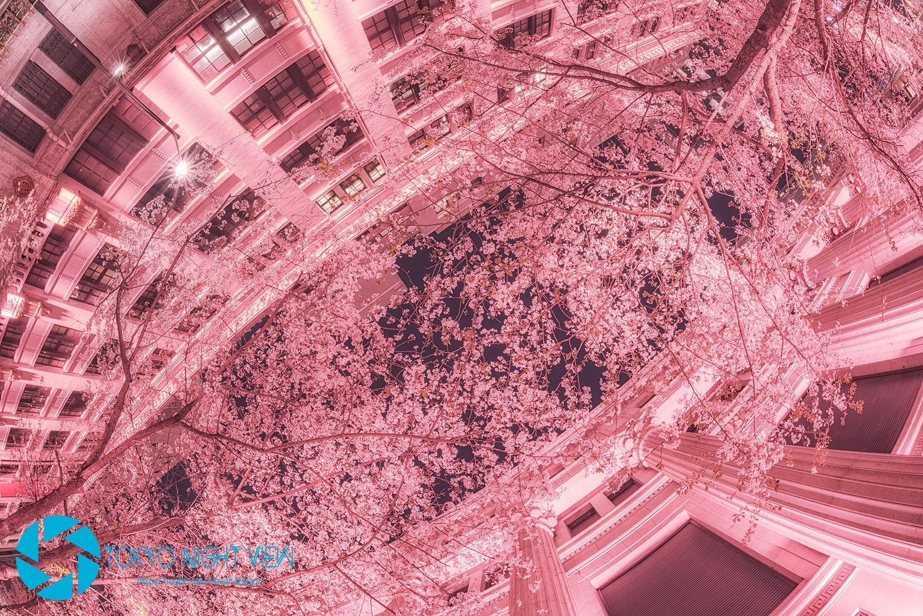 歴史的建築には和の桜が似合いますね